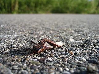 'A dead grasshopper on a path.'