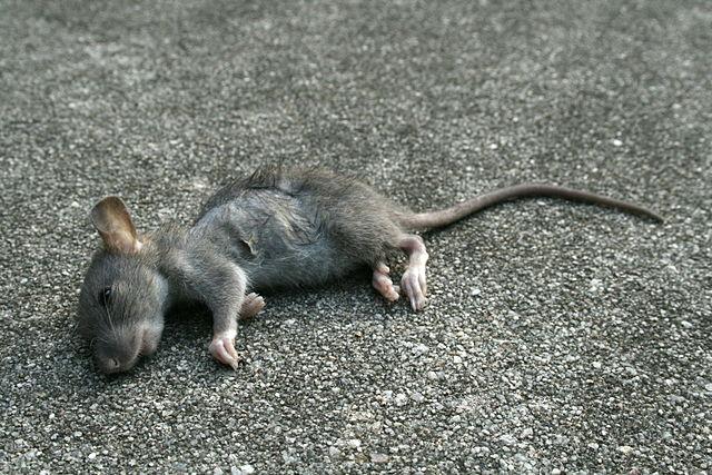 2008-09-11 Dead baby rat