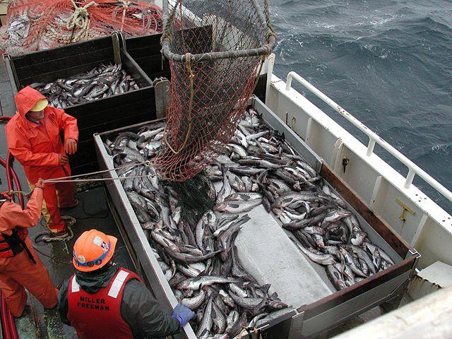 Theragra chalcogramma fishing