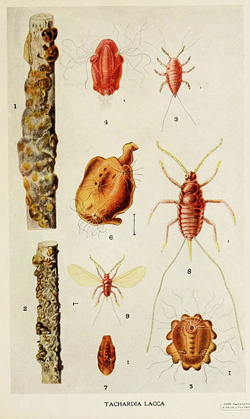 02-Indian-Insect-Life - Harold Maxwell-Lefroy - Kerria-Lacca