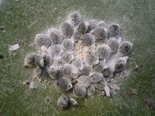 Dactylopius coccus (Barlovento) 04 ies