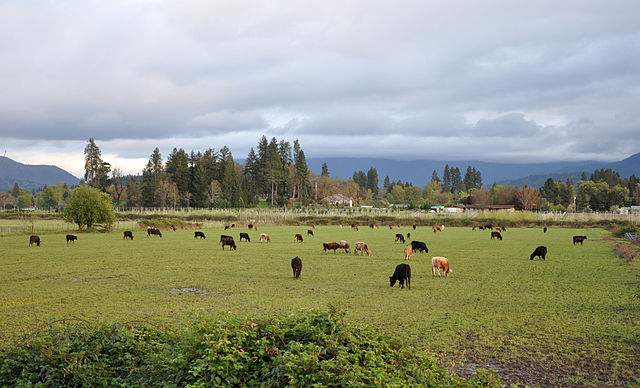 Cattle near grants pass