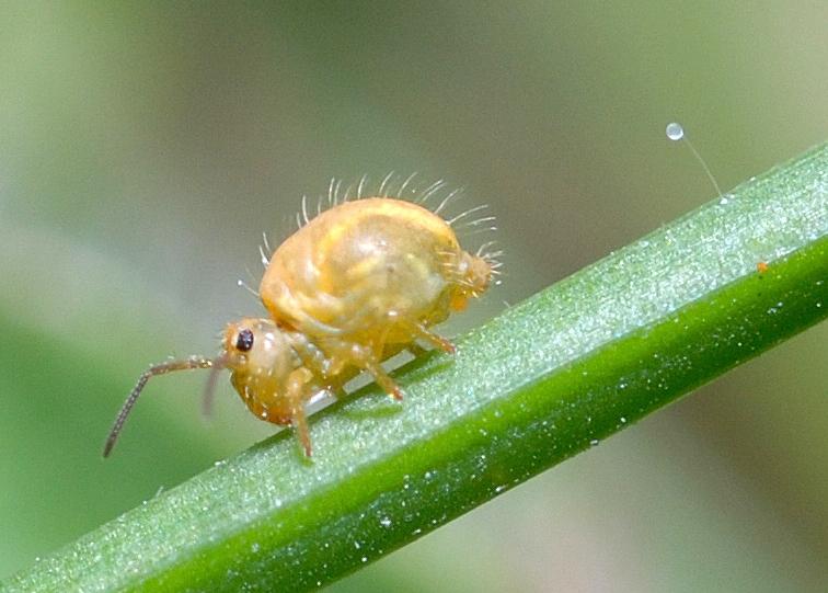 Springtail spermatophore