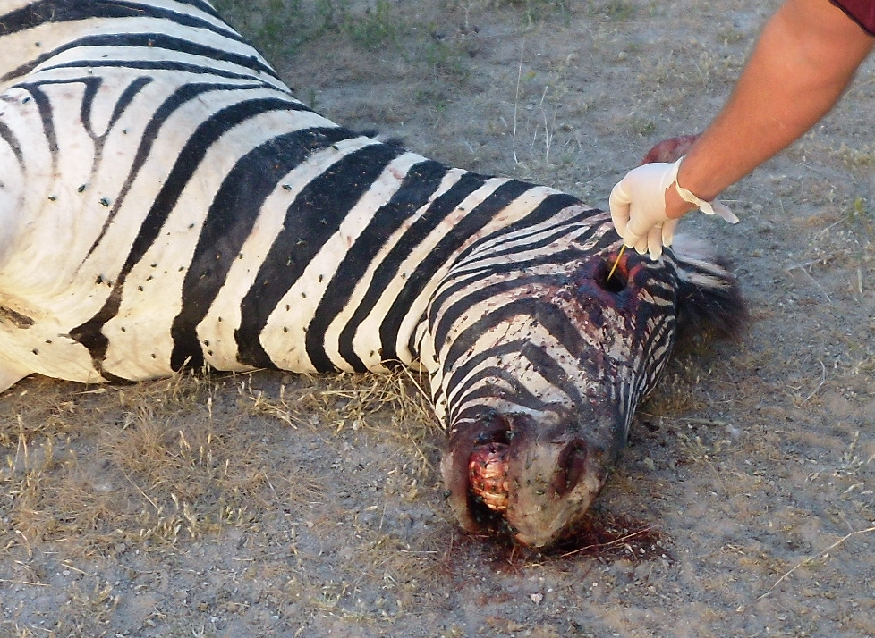 Zebra diseased from Bacillus anthracis