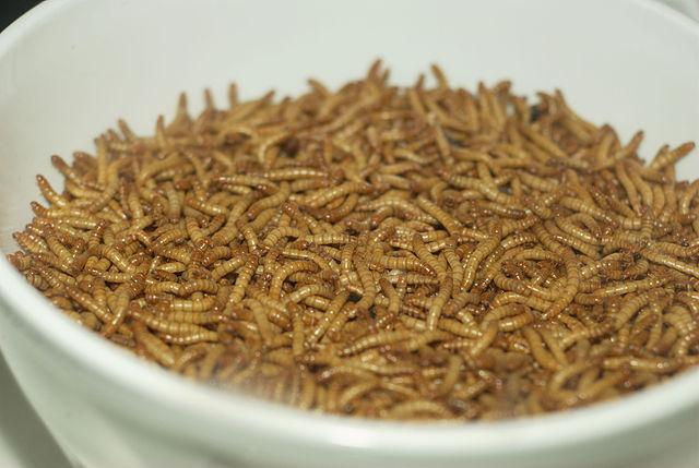 Mealworm 01 Pengo